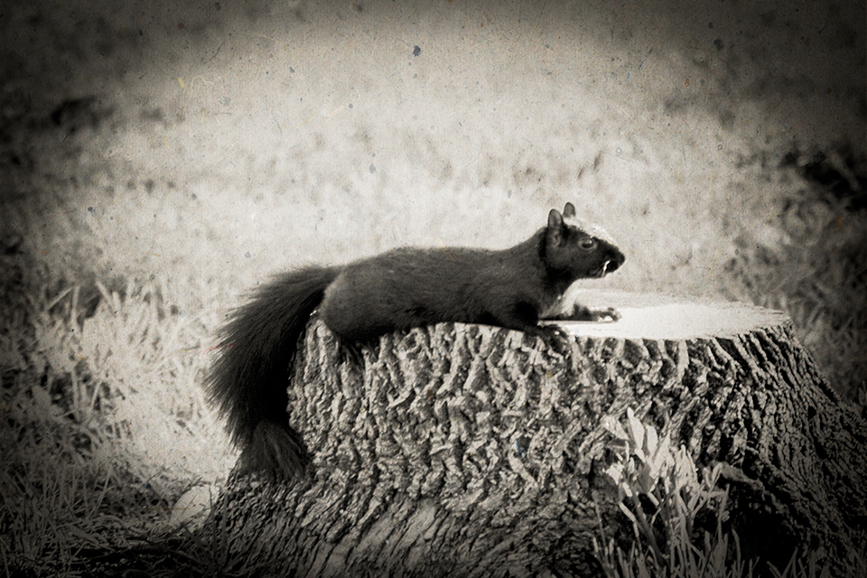 Squirrel_On_Stump