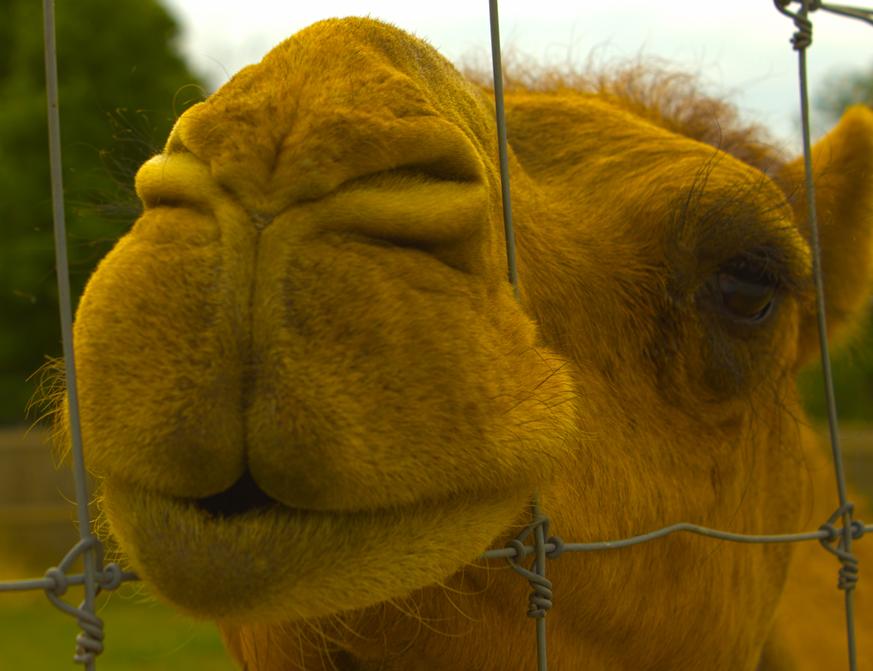 Camel Nose Edward Caissie