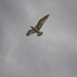 Brown Seagull